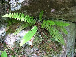 Dryopteris fragrans 1.jpg