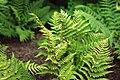 Dryopteris marginalis 2.jpg