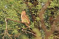 Dusky Eagle Owll at Bharatpur.jpg