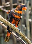 A black parrot with orange stripes