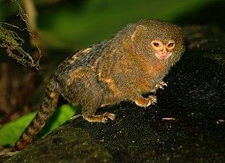 Pygmy marmoset species of mammal