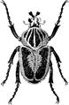 EB 1911 Goliath Beetle.png