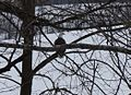 Eagle at New River Trail State Park (25077518424).jpg