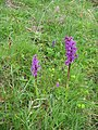 Early purple orchid - geograph.org.uk - 1330751.jpg