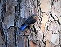 Eastern Bluebird Sialia sialis. male (24169057757).jpg