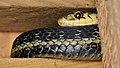 Eastern Garter Snake (Thamnophis sirtalis sirtalis) - MacGregor Point Provincial Park 04.jpg