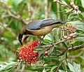 Eastern Spinebill. Acanthorhynchus tenuirostris - Flickr - gailhampshire (2).jpg