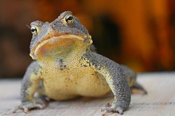 English: Front view of Eastern American Toad. ...