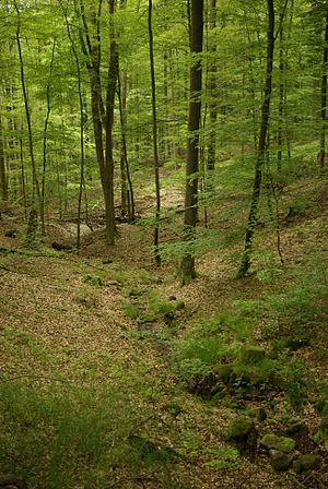 Steigerwald - The Naturwaldreservat Brunnstube Nature Reserve within the Nature Park, in the unincorporated area of Ebracher Forst
