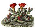 Echinopsis chamaecereus BlKakteenT168.jpg