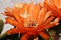 Echinopsis huascha760334102.jpg