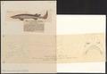 Echinorhinus spinosus - 1700-1880 - Print - Iconographia Zoologica - Special Collections University of Amsterdam - UBA01 IZ14100183.tif