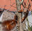 Eichhörnchen - Sciurus vulgaris IMG 1320.jpg
