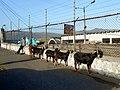 El pastor del camal - panoramio.jpg