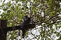 Electrocuted lion-tailed macaque infant in Valparai DSC 2607.jpg