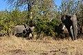 Elephant, Ruaha National Park (22) (28620658662).jpg