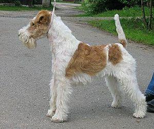 Wire Fox Terrier - Image: Elias 1červen 2006