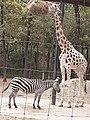 Em - Equus quagga and Giraffa camelopardalis rothschildi - 1.jpg