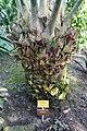 Encephalartos laurentianus-Jardin botanique Meise (1).jpg
