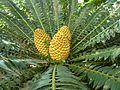 Encephalartos transvenosus, vroulike keëls, Manie van der Schijff BT.jpg