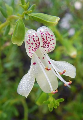Endangered Garretts mint flower (5794258452).jpg