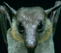 Eonycteris spelea.png