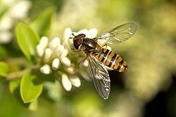 Kukkakärpänen englanniksi