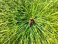 Equisetum sylvaticum 04.jpg
