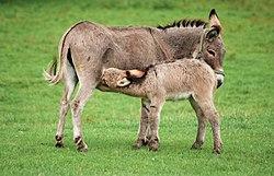 Håriga svarta åsnor