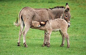 English: A female donkey (Equus asinus) with h...