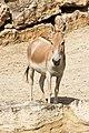 Equus hemionus onager - Réserve africaine de Sigean 01.jpg