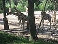 Equus quagga boehmi, Giraffa camelopardalis rothschildi in Burgers' Zoo (Safari) (2).jpg