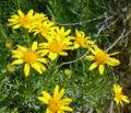 Ericameria linearifolia 3.jpg