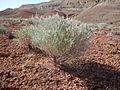 Ericameria nauseosa or Chrysothamnus nauseosus nauseosus (7294929896).jpg