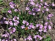 Erinus alpinus a1