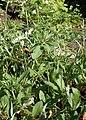 Eriogonum flavum kz02.jpg