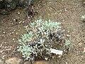Eriogonum grande var. timorum - University of California Botanical Garden - DSC09008.JPG
