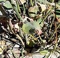 Eriogonum panamintense 11.jpg