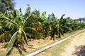 Eritrean-Banana.png