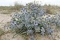 Eryngium maritimum kz10.jpg