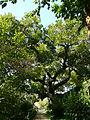Erythrina corallodendron als jardins del Teatre Grec P1250861.jpg
