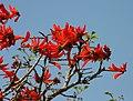 Erythrina lysistemon - Common Coral tree - Flickr - Ragnhild & Neil Crawford.jpg