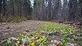 Erythronium grandiflorum ssp. grandiflorum 5.jpg