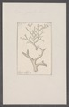 Eschara gracilis - - Print - Iconographia Zoologica - Special Collections University of Amsterdam - UBAINV0274 093 07 0008.tif