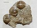 Estonian Museum of Natural History Specimen No 171020 photo (g1 g1-55 a jpg).jpg