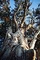 Eucalyptus (34685133045).jpg