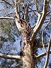 Eucalyptus benthamii 02