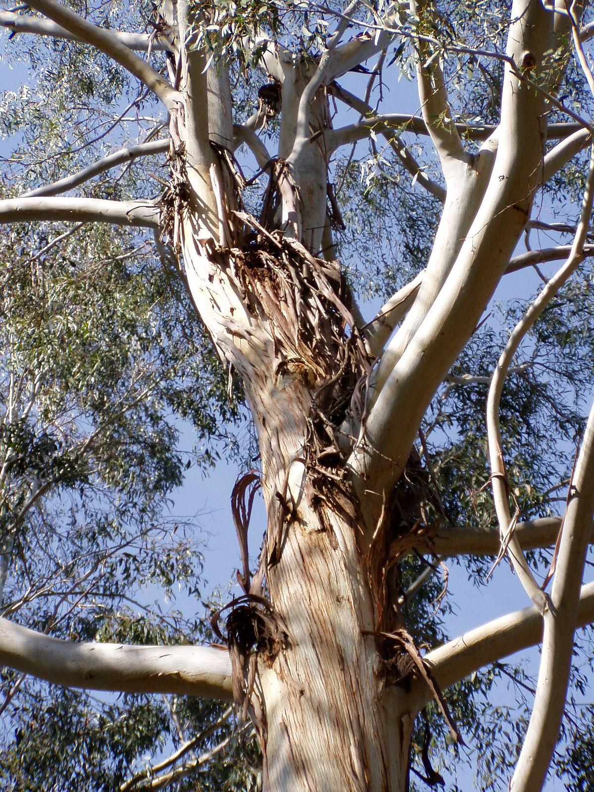 Eucalyptus Benthamii Wikipedia