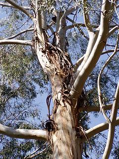 <i>Eucalyptus benthamii</i>