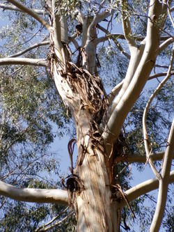 arbre a the